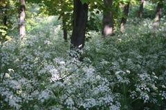 Vita blommor på en röjning i skogen Royaltyfri Fotografi