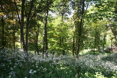 Vita blommor på en röjning i skogen Arkivbilder