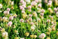 Vita blommor på en växt av släktet Trifolium Royaltyfri Foto