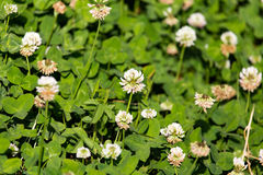 Vita blommor på en växt av släktet Trifolium Royaltyfri Fotografi