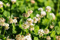 Vita blommor på en växt av släktet Trifolium Royaltyfria Foton