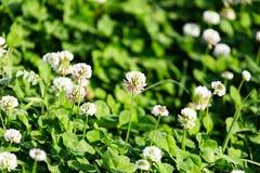 Vita blommor på en växt av släktet Trifolium Arkivbilder