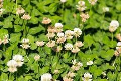 Vita blommor på en växt av släktet Trifolium Arkivfoto