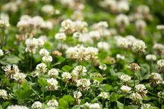Vita blommor på en växt av släktet Trifolium Arkivfoton