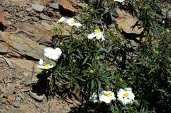 Vita blommor på en vagga Royaltyfria Bilder