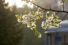 Vita blommor på ett fruktträd Arkivfoton