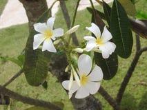 Vita blommor på grön bakgrund, Sri Lanka arkivbild