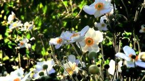 Vita blommor på höstsolnedgången stock video