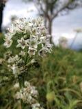 Vita blommor på MonJam Chiangmai Fotografering för Bildbyråer