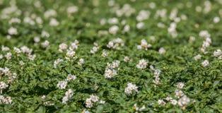 Vita blommor på potatisväxter Fotografering för Bildbyråer