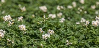 Vita blommor på potatisväxter Arkivfoton
