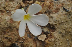 Vita blommor på sandstenyttersida arkivbilder