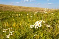Vita blommor på sommarfältet arkivbild