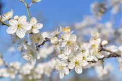 Vita blommor på trädet Arkivbild