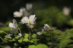 Vita blommor på våren Arkivfoto