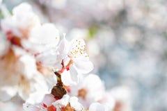 Vita blommor på plommonträd Arkivbild