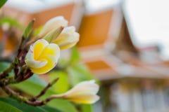 Vita blommor planterades framme av templet Arkivbilder