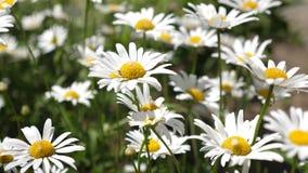 vita blommor skakar vinden i summerfielden Härliga tusenskönablommor i vår på ängen Blommaaffär arkivfilmer