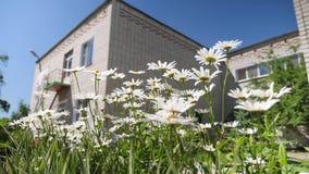 vita blommor skakar vinden mot den blåa himlen Härliga tusenskönablommor i borggården stock video