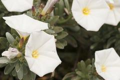 Vita blommor som är fullvuxna i landet Arkivbilder
