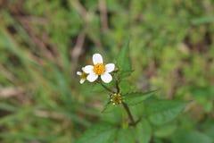 Vita blommor som är små av gräs royaltyfria bilder