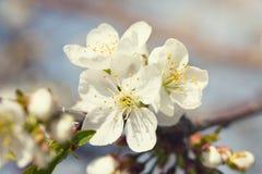 Vita blommor som blommar körsbäret Royaltyfri Foto
