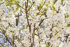 Vita blommor som blommar körsbäret på en vårdag Arkivfoton