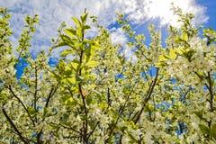 Vita blommor som blommar körsbäret på en vårdag Royaltyfri Foto