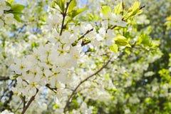 Vita blommor som blommar körsbäret på en vårdag Arkivbild