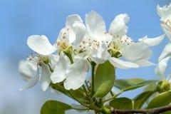 Vita blommor som blommar päronet Arkivfoton