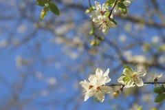 Vita blommor som blomstrar på filialen av det lösa trädet Royaltyfria Foton