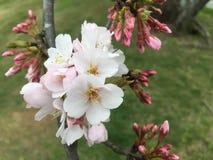 Vita blommor som blomstrar på träd Arkivfoto