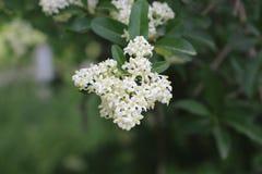 Vita blommor som blomstras på en buske Hon blommor är mycket ljus Arkivbilder