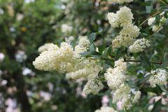 Vita blommor som blomstras på en buske Hon blommor är mycket ljus Arkivfoton