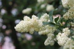 Vita blommor som blomstras på en buske Hon blommor är mycket ljus Royaltyfria Bilder