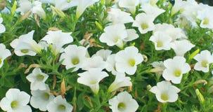 Vita blommor som hänger i kruka på solen, rays lager videofilmer