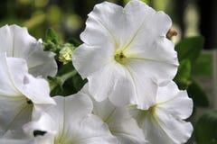 Vita blommor stänger sig upp Arkivbild
