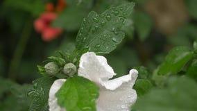 Vita blommor stänger sig upp av ros av Sharon eller altheaen V?xtblommaslut upp efter ett regn, droppar av dagg på kronblad och s lager videofilmer