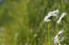 Vita blommor, tusensköna, Bellis Perennis i gräs - bakgrund Royaltyfri Foto