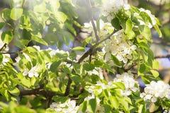 Vita blomningar för träd för bradford callerypäron på den soliga dagen för vår arkivfoton