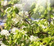 Vita blomningar för träd för bradford callerypäron på den soliga dagen för vår arkivbilder