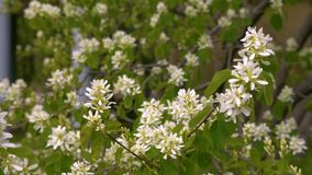 Vita blomningfilialer av häggträdet i vår arbeta i trädgården tätt upp stock video