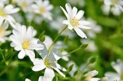 vita blomstra blommor Fotografering för Bildbyråer