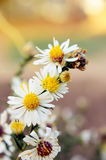 vita blomstra blommor Royaltyfria Foton