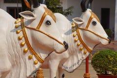 Vita Brahma tjurar royaltyfria bilder