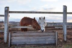 vita bruna hästar Arkivbilder