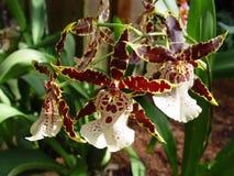 vita bruna orchids arkivfoton