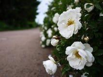 Vita buskerosor fördelade stora knoppblommor Blomma rosor i vår och försommar royaltyfria foton