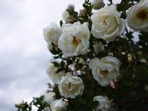 Vita buskerosor fördelade stora knoppblommor Blomma rosor i vår och försommar royaltyfri foto