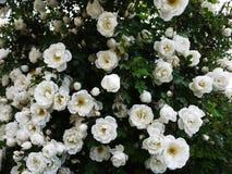 Vita buskerosor fördelade stora knoppblommor Blomma rosor i vår och försommar royaltyfria bilder